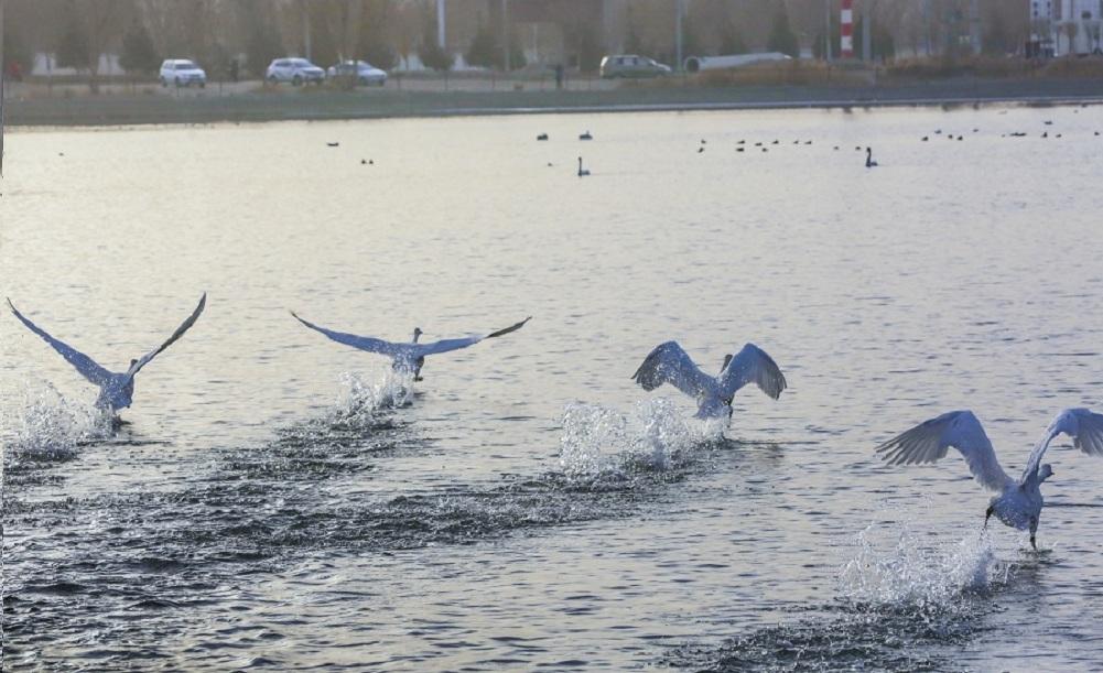 """庫爾勒:180余只天鵝""""移居""""至杜鵑河下遊"""