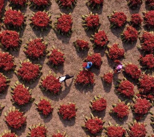 河北灤南:望天椒喜獲豐收