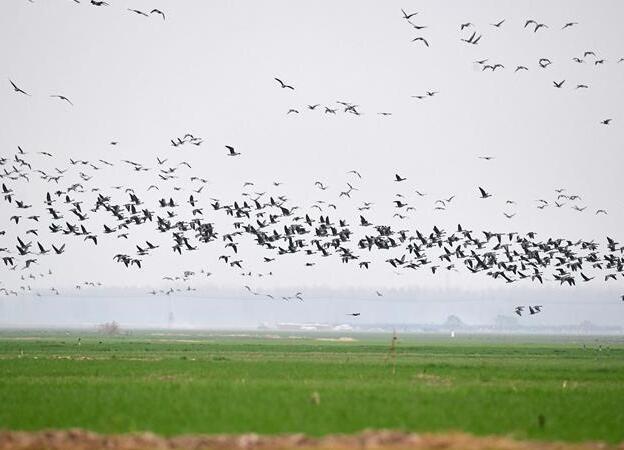 黃河濕地群雁來臨