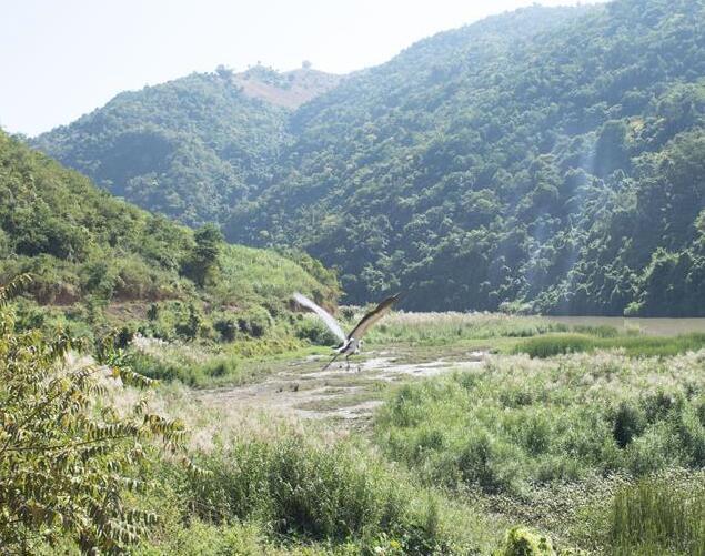 雲南昌寧發現極度瀕危物種白腹鷺